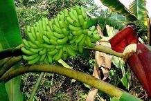 Unripe-banana