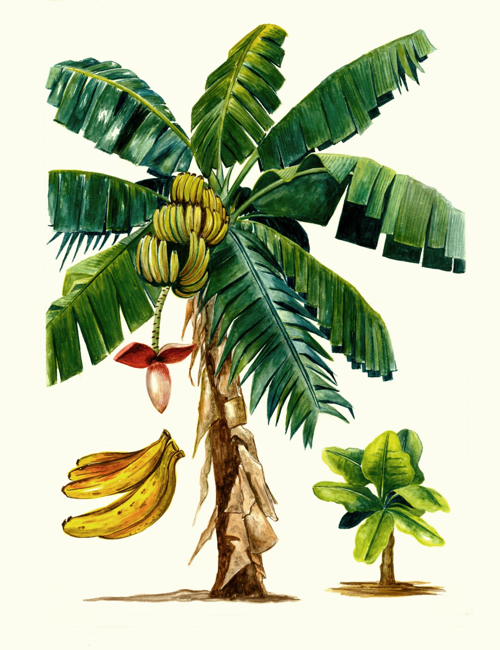 What Are Banana Plant Pups How To Separate Banana Tree: Health Benefits Of Banana