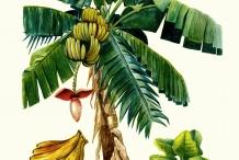 Illustration-of-Banana-plant