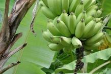 Unripe-Bananas