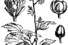 Sketch-of-Baneberry-plant