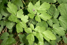 Leaves-of-Baneberry-plant
