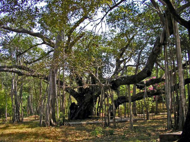 Banyan-Tree-growing-wild