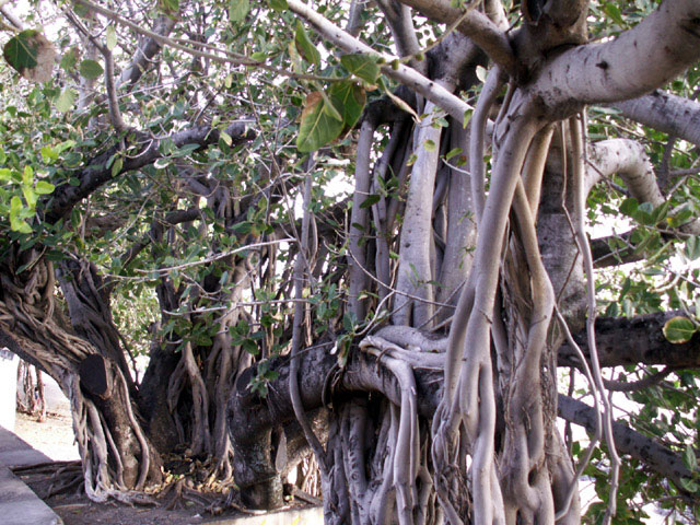 Banyan-Tree-showing-roots