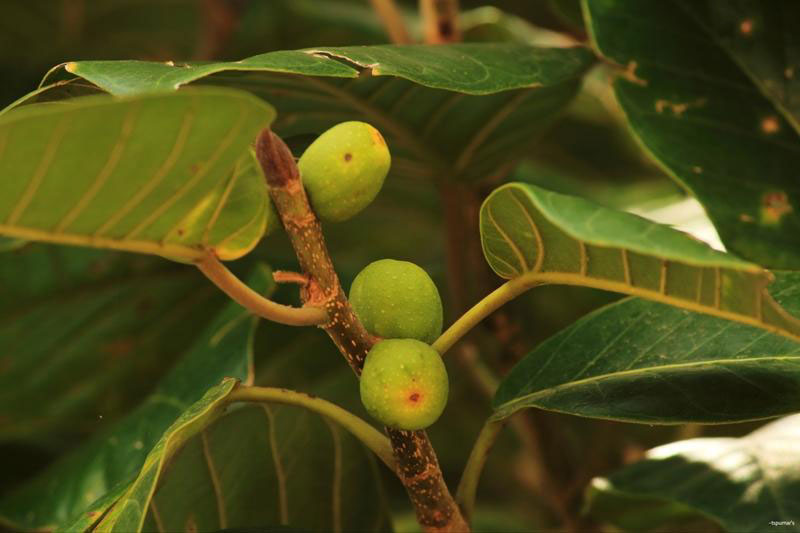 Unripe-fruits-of-Banyan-Tree