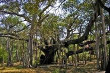 Banyan-Tree-growing-wild