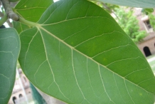 Closer-view-of-Leaf-of-banyan-tree
