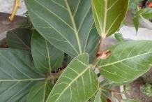 Leaves-of-Banyan-Tree