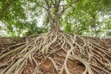 Roots-of-banyan-Tree
