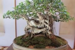 Banyan-Tree-as-ornamental