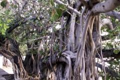 Banyan-Tree-showing-roots