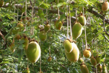 Baobab-Fruit-on-the-tree