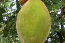 Fruit-of-Baobab