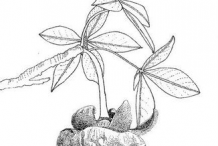 Sketch-of-Baobab-plant