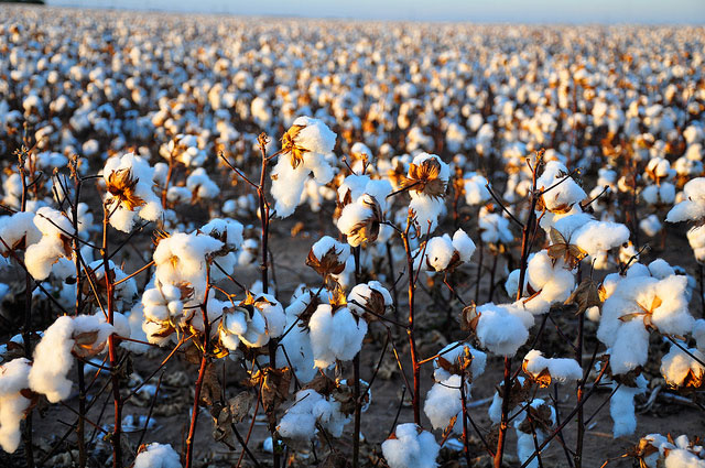 Barbados-cotton-ready-for-harvesting