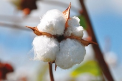Barbados-cotton