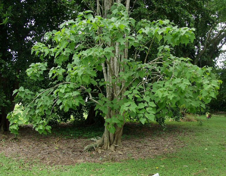 Barbados-nut-plant