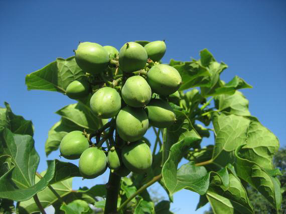 Immature-Barbados-nut-on-the-tree