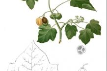 Plant-Illustration-of-Barbados-nut