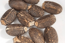 Seeds-of-Barbados-nut