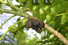 Mature-fruits-on-the-tree