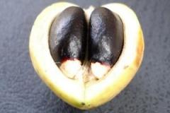 Half-cut-Barbados-nut