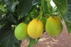 Ripening-Barbados-nut-on-the-tree