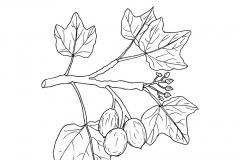 Sketch-of-Barbados-nut