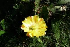 Barbary-fig-flower