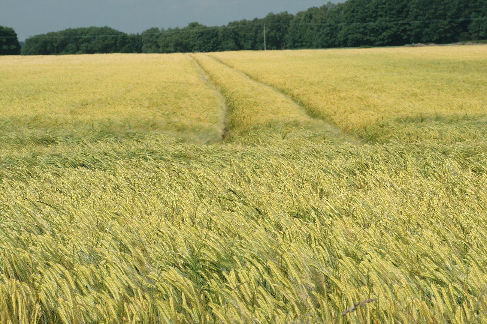 Barley-farm