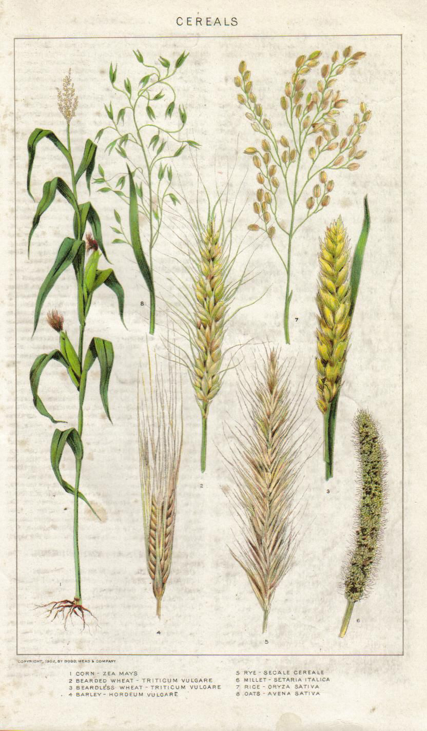 Plant-illustration-of-Barley