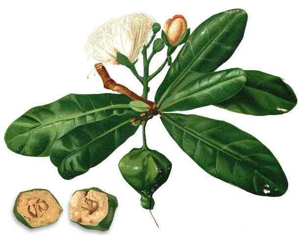 Plant-Illustration-of-Barringtonia