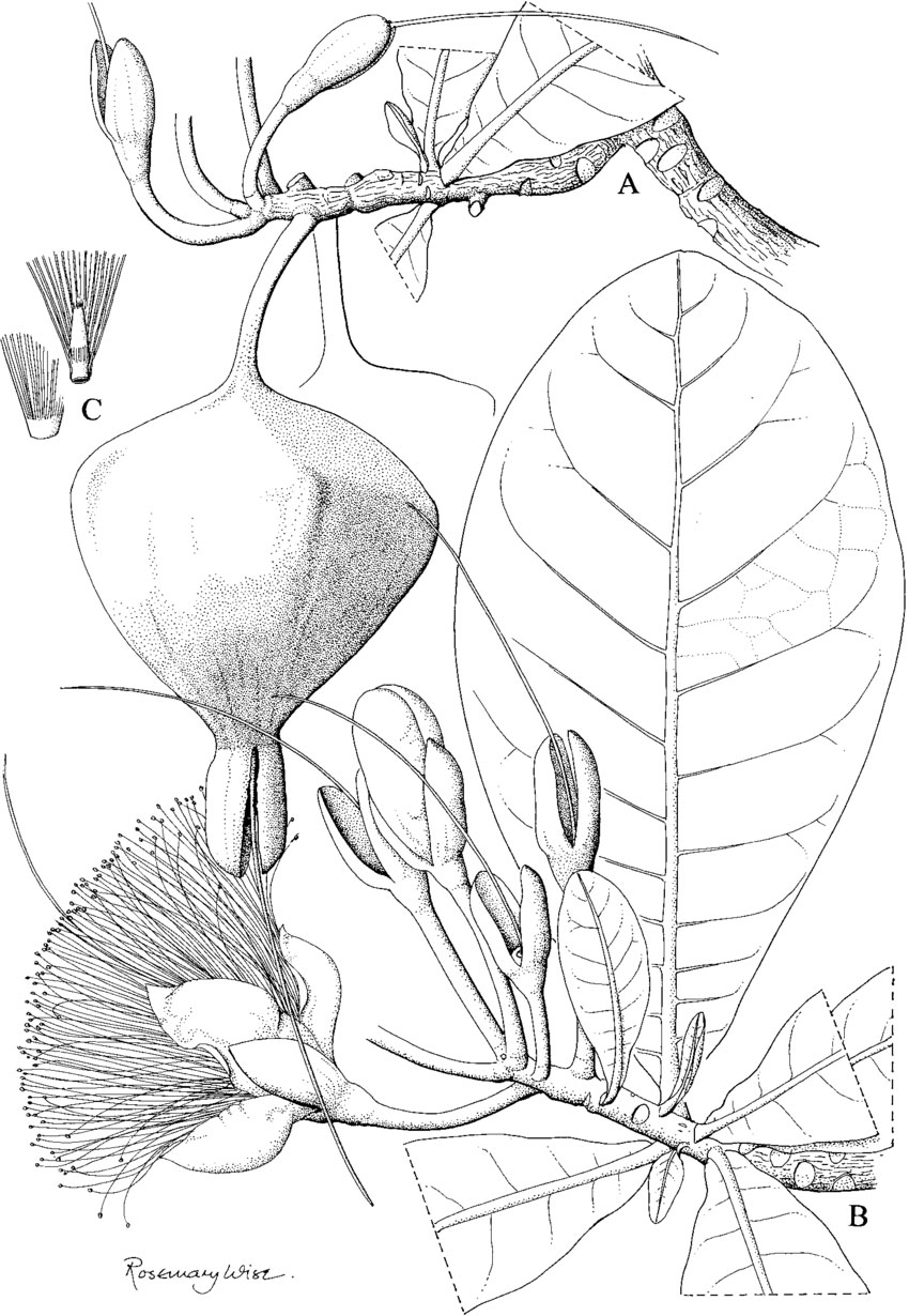 Sketch-of-Barringtonia