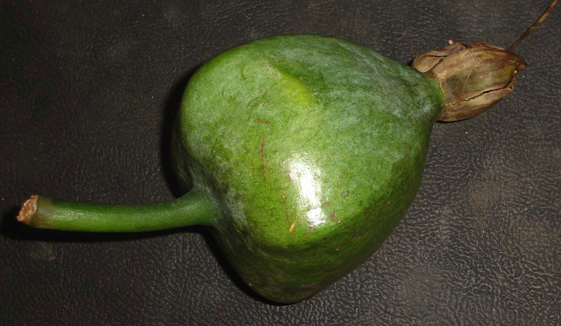 Unripe-Barringtonia-fruit
