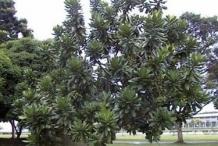 Barringtonia-plant