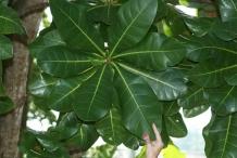 Leaves-of-Barringtonia