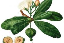 Plant-Illustration-of-Barringtonia