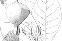 Sketch-of-Barringtonia