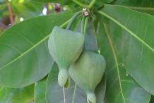 Unripe-Barringtonia-fruit-on-the-tree