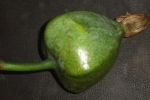 Unripe-Barringtonia-fruit