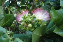 Flower-of-Barringtonia