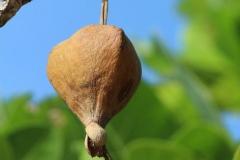 Mature-Barringtonia-fruit-on-the-tree