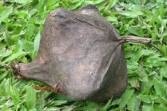 Mature-Barringtonia-fruit