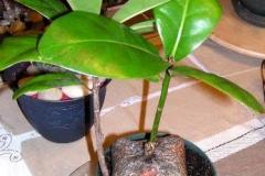 Small-Barringtonia-plant