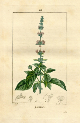 Basil-plant-illustration