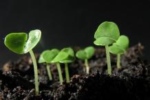 Basil-seedlings