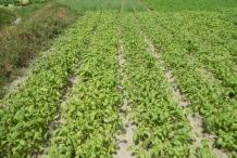 Basil-farm