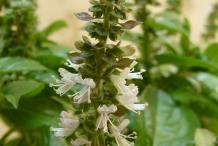 Basil-flower
