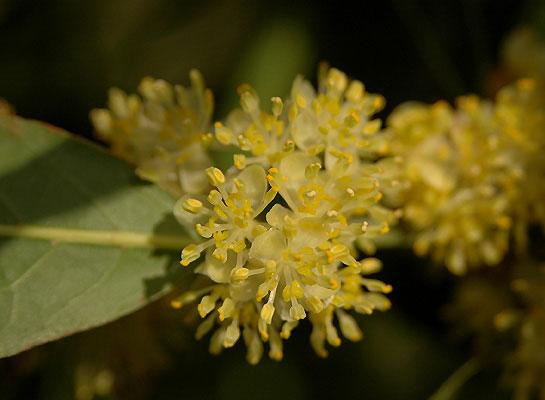 Closer-view-of-flower-of-Bay-Laurel