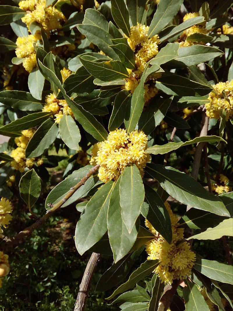 Flowers-of-Bay-Laurel